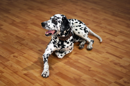 dalmatian laying on the best flooring for dogs